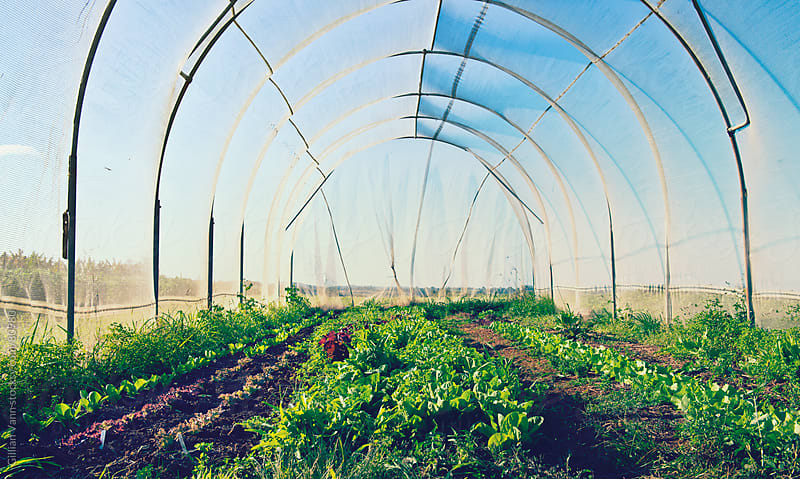 organic farm, the hothouse by Gillian Vann for Stocksy United