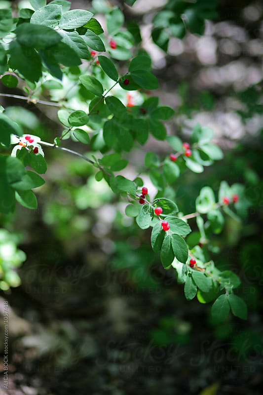 Bright Red Berries On A Green Bush by ALICIA BOCK for Stocksy United