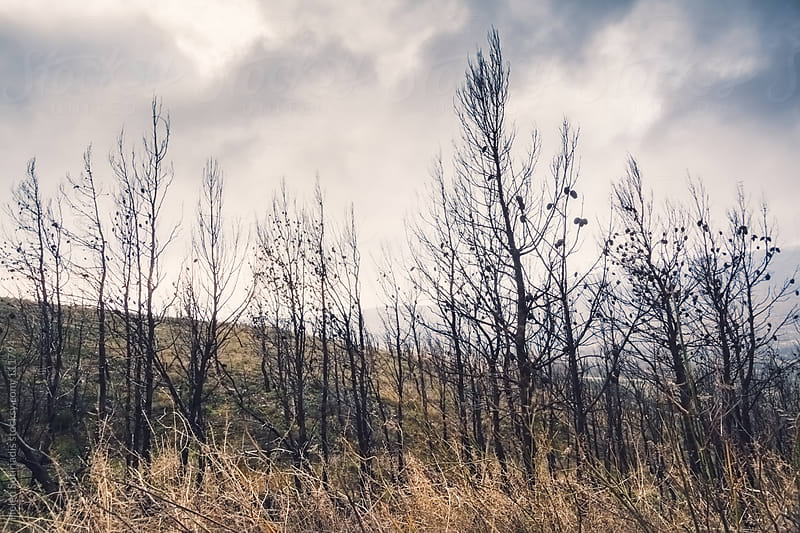 Burned Trees by Helen Sotiriadis for Stocksy United