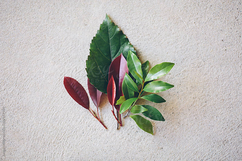 A selection of green and red leaves by Jacqui Miller for Stocksy United