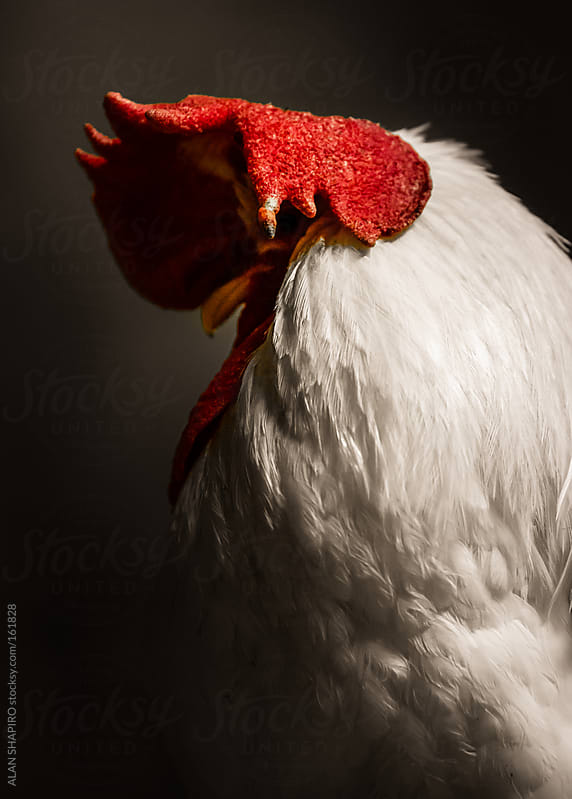 Fear, despair and heartbreak in the chicken coop. by ALAN SHAPIRO for Stocksy United