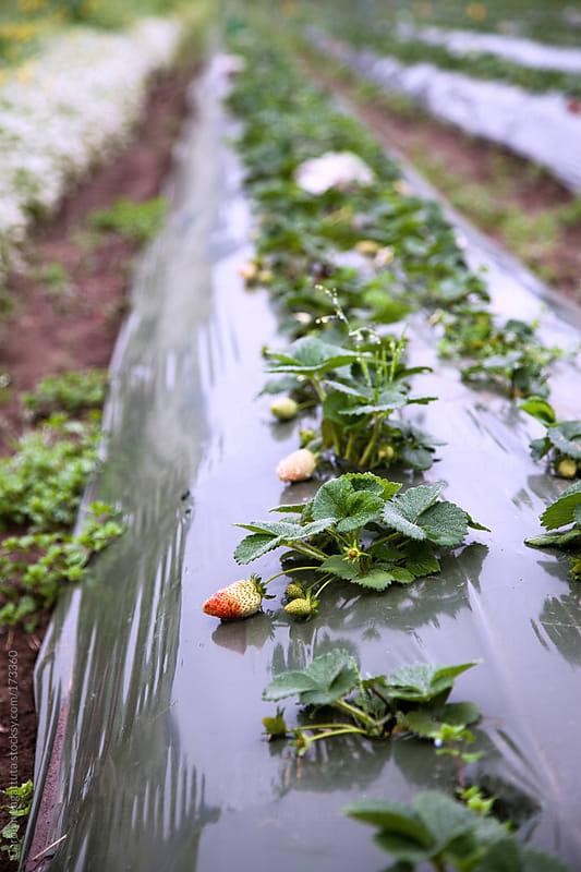 Rows of ripening strawberries at the farm by Carolyn Lagattuta for Stocksy United