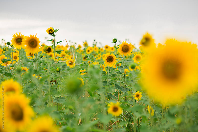 Sunflowers , selective focus.  by Alexey Kuzma for Stocksy United