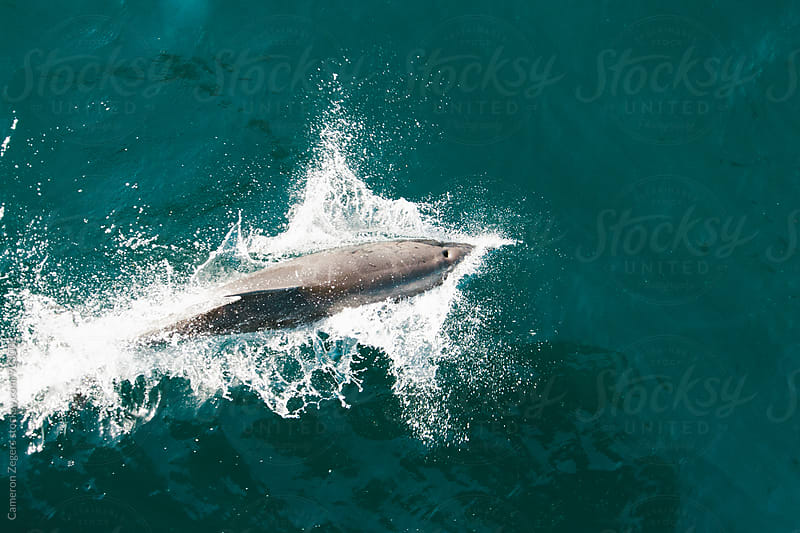 dolphin swimming in Baja, Mexico by Cameron Zegers for Stocksy United