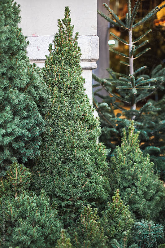 Christmas trees on a street market by Vera Lair for Stocksy United