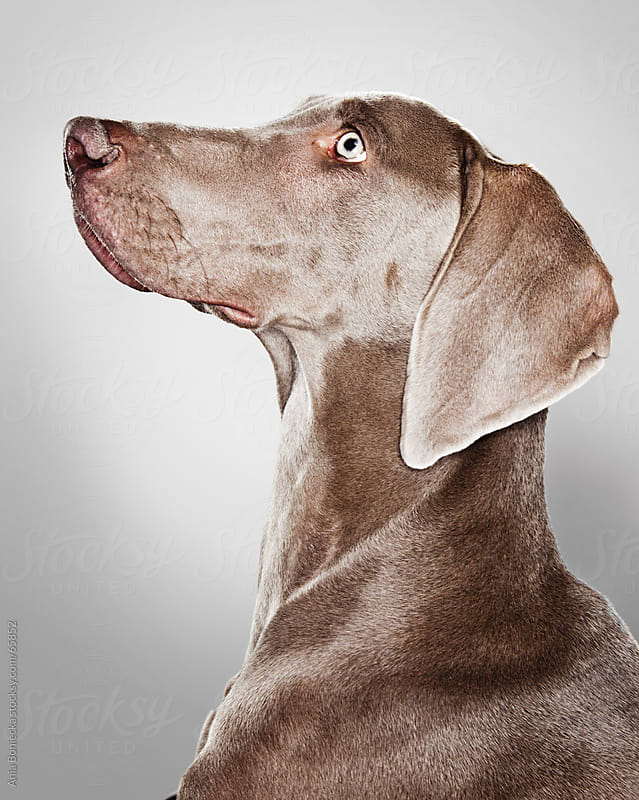A portrait of a Weimaraner dog by Ania Boniecka for Stocksy United