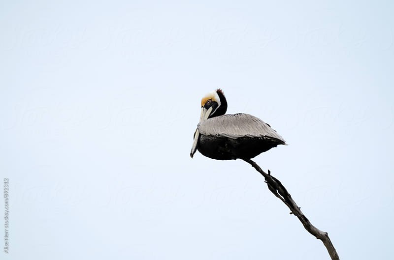 Pelican sitting on a dry tree branch against almost white sky by Alice Nerr for Stocksy United