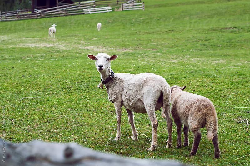 Beautiful Sheep by Alie Lengyelova for Stocksy United