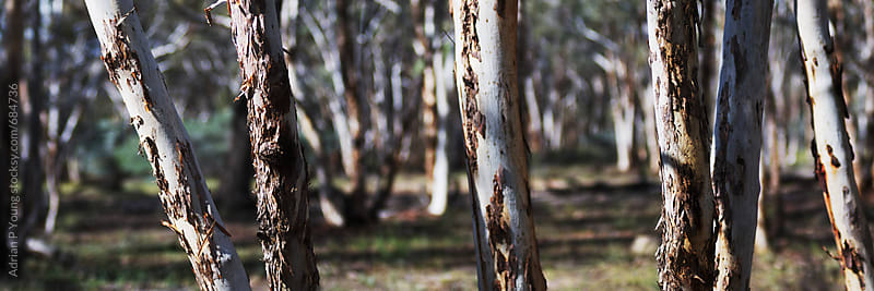 Australian Bush Panoramic by Adrian Young for Stocksy United