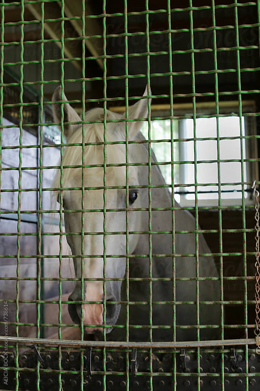 A Sad White Horse Looking Out From Behind A Gate by ALICIA BOCK for Stocksy United