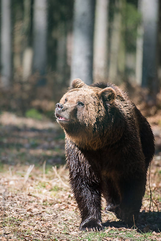 Brown bear (lat. ursus arctos) inside forest  by Peter Wey for Stocksy United