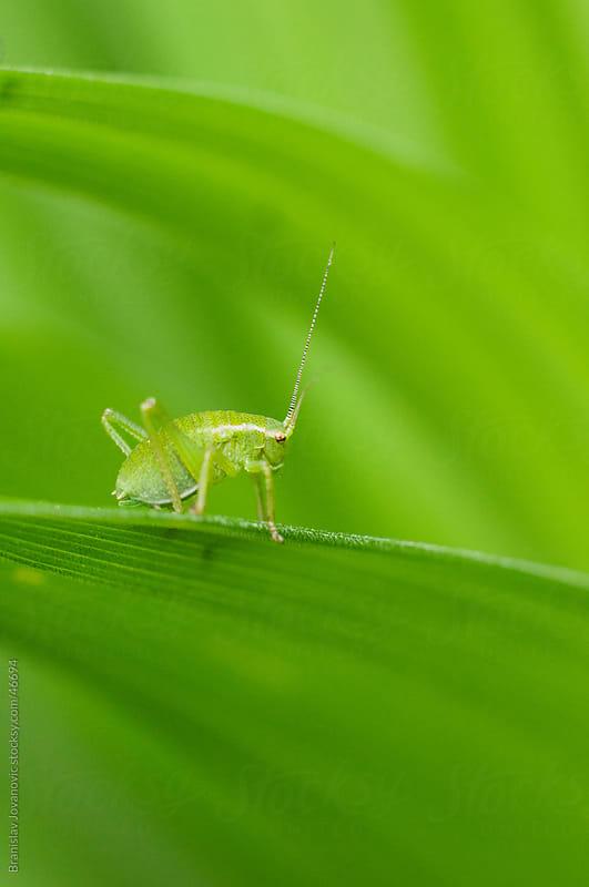 Grasshopper on green leaf by Branislav Jovanović for Stocksy United