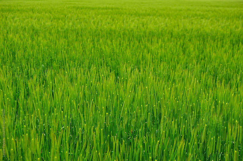 Green Rice Fields of Japan by Leslie Taylor for Stocksy United