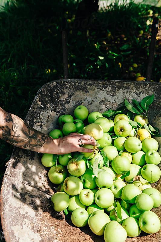 apple harvest, a woman's hand placing apples in a wheelbarrow by Gillian Vann for Stocksy United