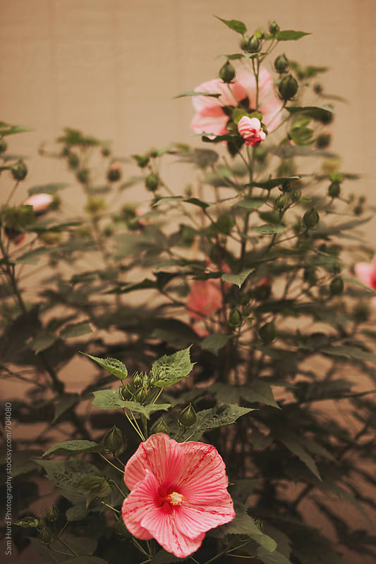 pink flowers in a yard garden by Sam Hurd Photography for Stocksy United