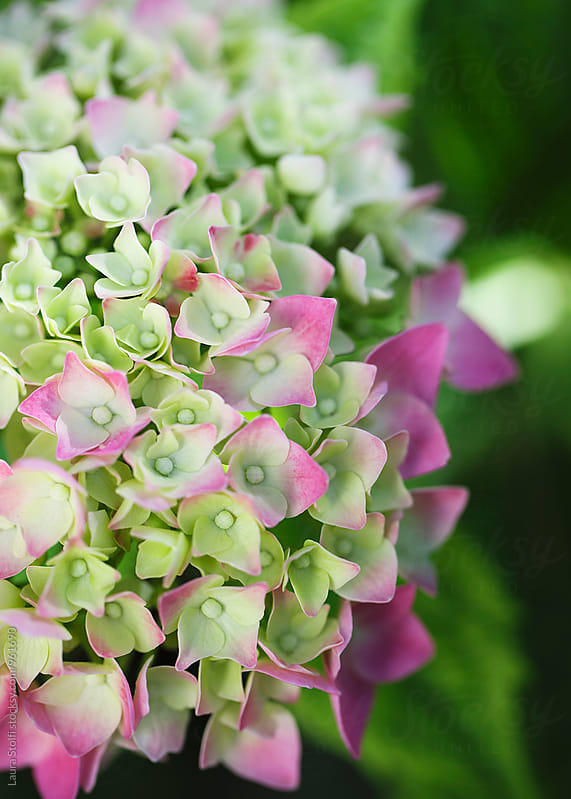 Extreme close up of pale pink and green hydrangea buds opening by Laura Stolfi for Stocksy United
