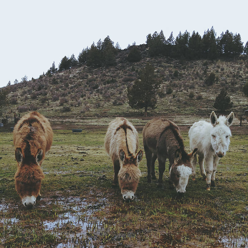 Miniature Donkeys by Kevin Russ for Stocksy United