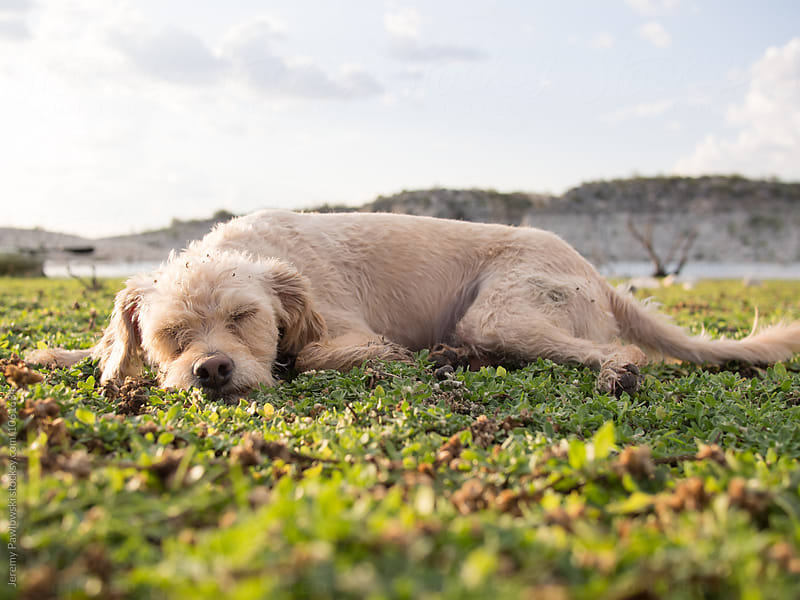 Tired golden terrier puppy sleeping on grass by Jeremy Pawlowski for Stocksy United