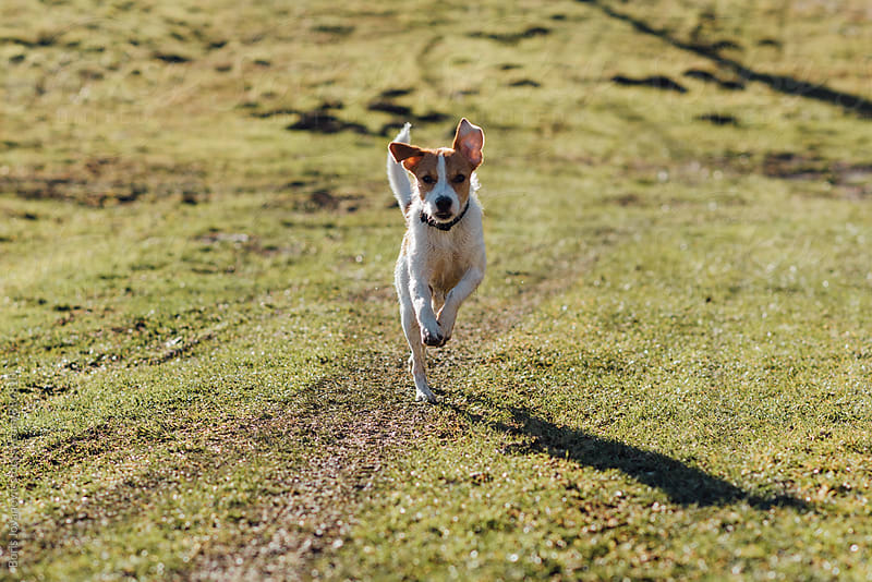 Dog running towards the camera  by Boris Jovanovic for Stocksy United