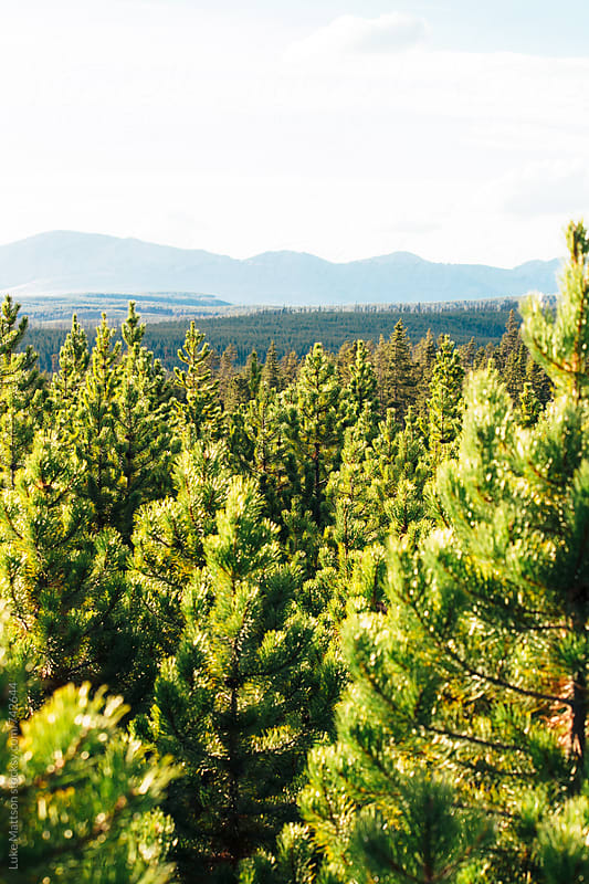 View Of Green Pine Trees And Blue Mountains by Luke Mattson for Stocksy United