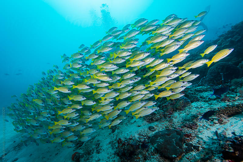 School of blue striped snapper by Song Heming for Stocksy United