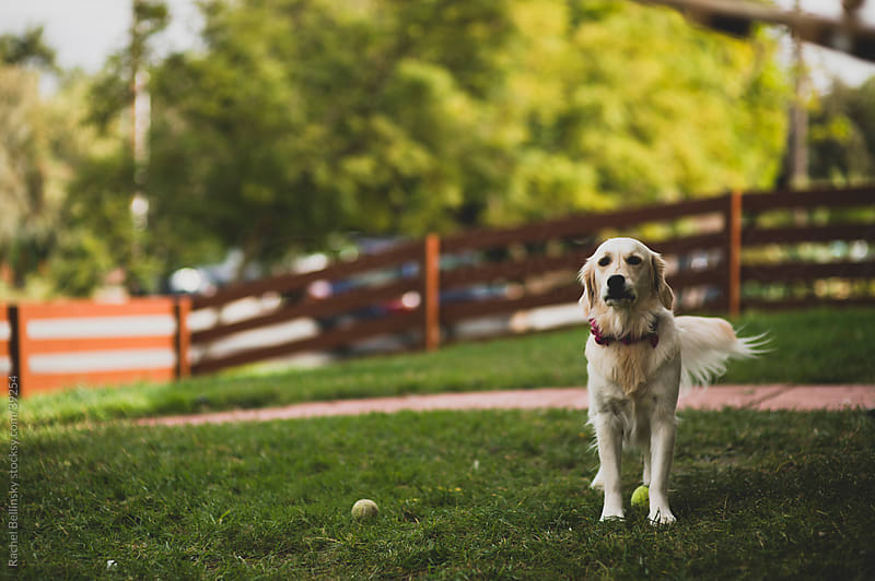 A golden lab in a grassy yard with tennis balls by Rachel Bellinsky for Stocksy United