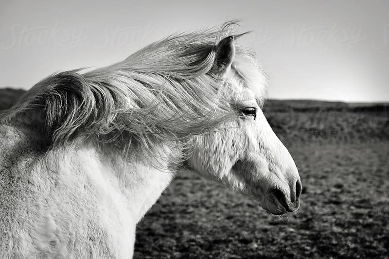 black and white Icelandic horse profile by Amanda Large for Stocksy United
