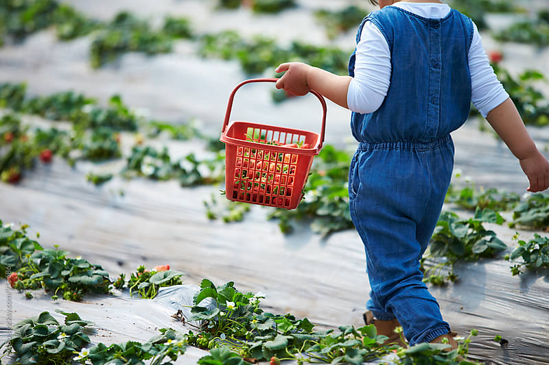 little asian girl holding basket of strawberry in the strawberry farm by Bo Bo for Stocksy United