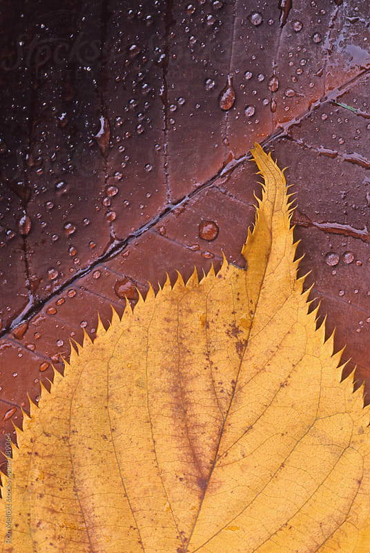 closeup macro of two leaves with dewdrops on ground by Ron Mellott for Stocksy United