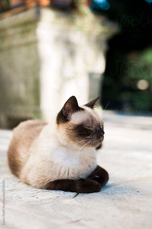 Close up of handsome siamese cat laying on sunny garden stone pavement by Laura Stolfi for Stocksy United
