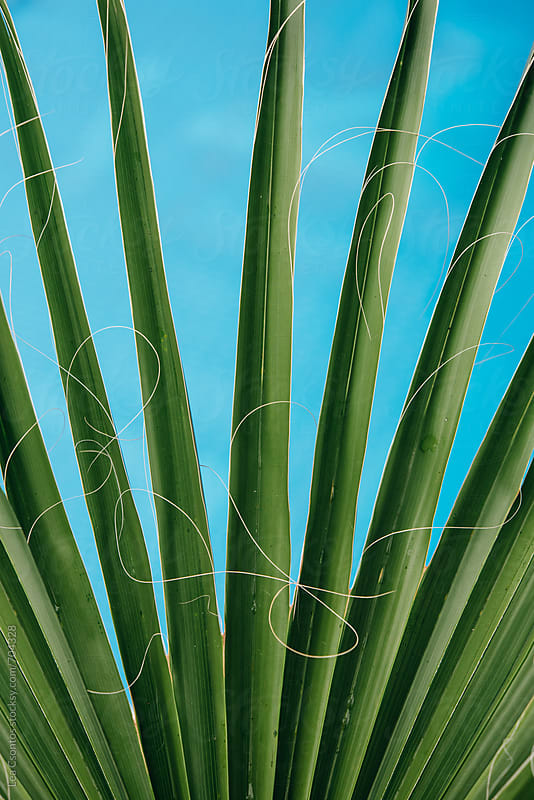 Bright green palm leaves stretching against blue backround (a pool) by Lea Csontos for Stocksy United
