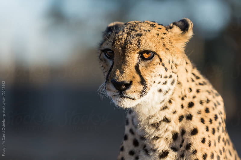 Cheetah (Acinonyx jubatus) - Close up  by Fotografie Daniel Osterkamp for Stocksy United