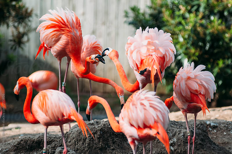 Pink flamingos in captivity by Cameron Whitman for Stocksy United