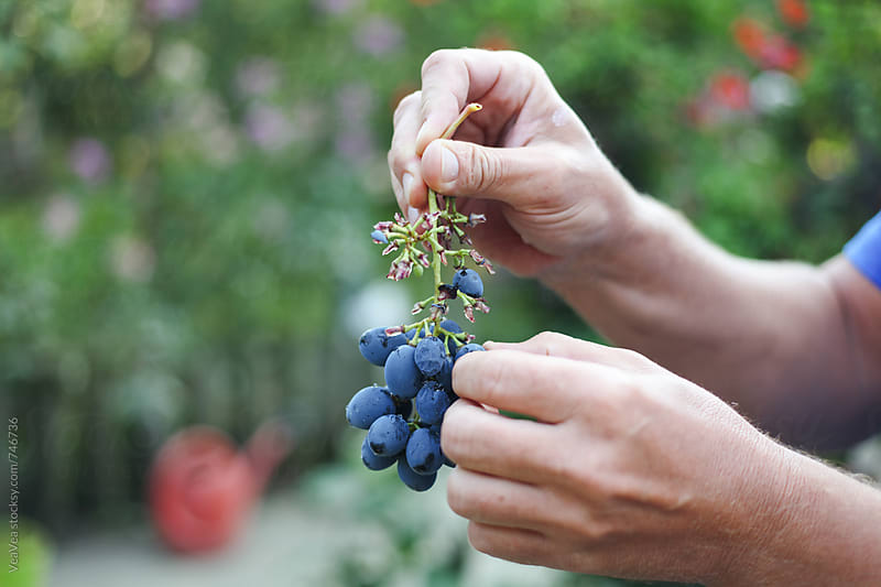 Male hand holding a cluster of red grapes  by Marija Mandic for Stocksy United