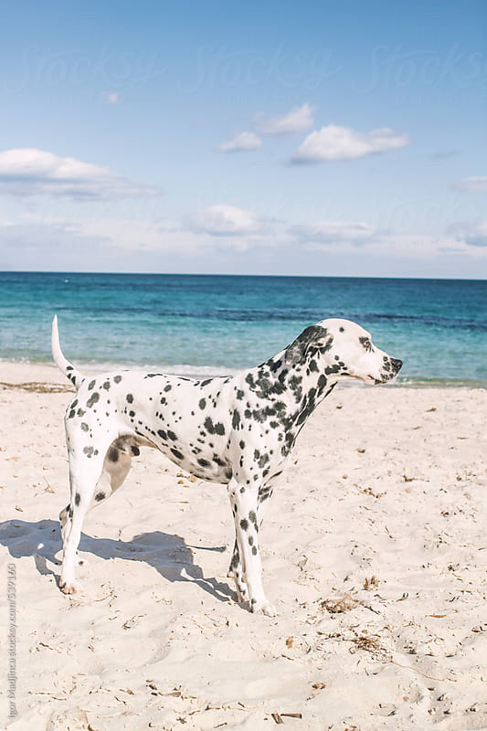Dalmatian dog on the sunny beach by the sea by Igor Madjinca for Stocksy United