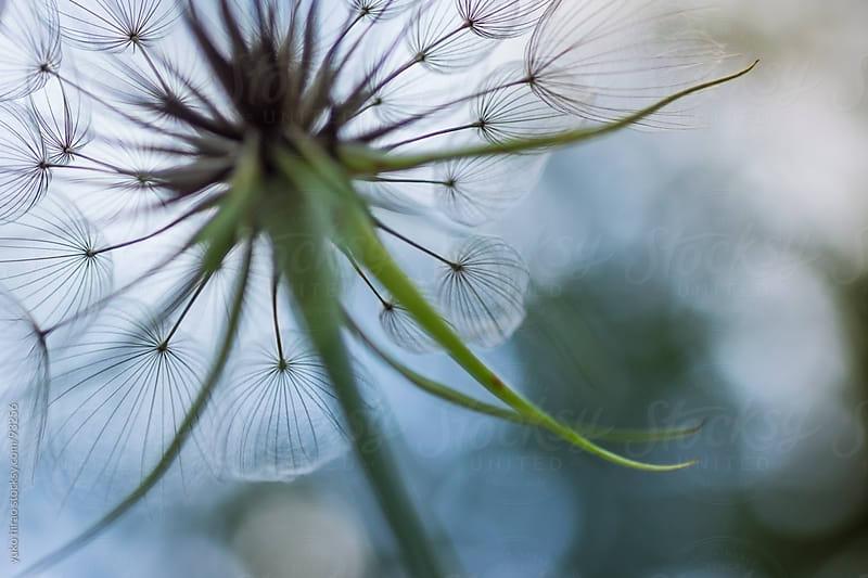 Closeup of dandelion fluff by yuko hirao for Stocksy United
