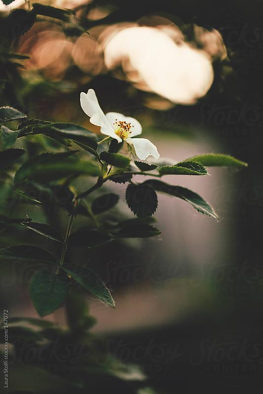 Sunny bokeh & white rose by Laura Stolfi for Stocksy United