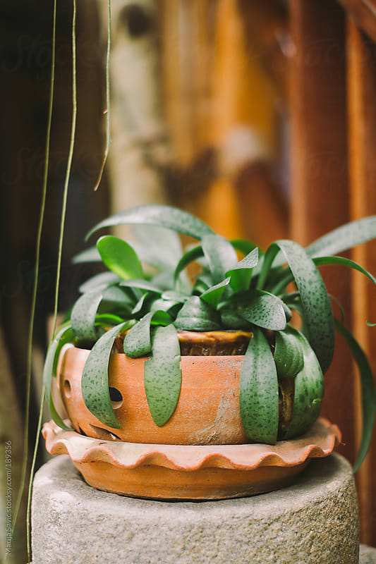 Green Plant in a Clay Pot by Marija Savic for Stocksy United