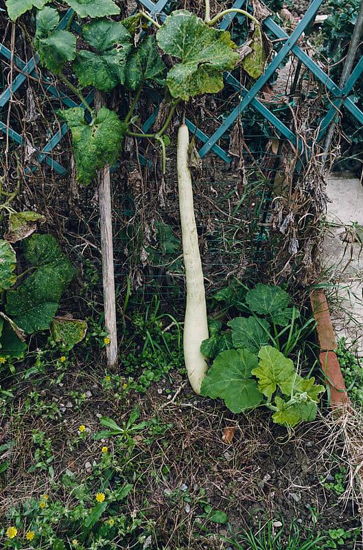Pumpkin growing in a yard vegetable garden by Alessio Bogani for Stocksy United