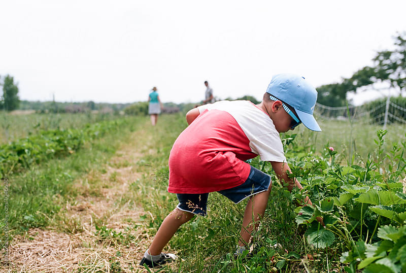 boy picking strawberries in farm by Maria Manco for Stocksy United
