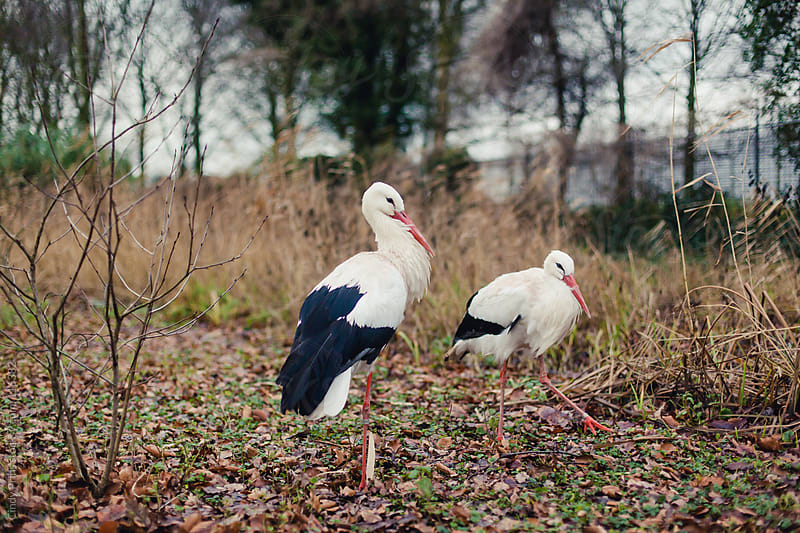 Two storks standing in a field by Cindy Prins for Stocksy United