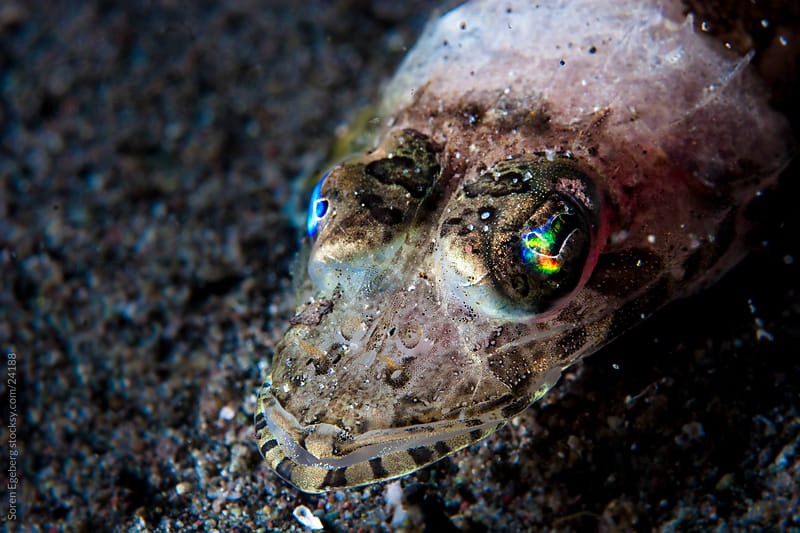 Closeup of small Juvenile Crocodile fish with colorful eyes underwater in Indonesia by Soren Egeberg for Stocksy United