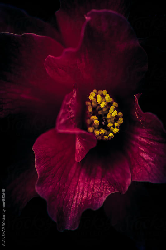 red petals and yellow stamen by alan shapiro for Stocksy United