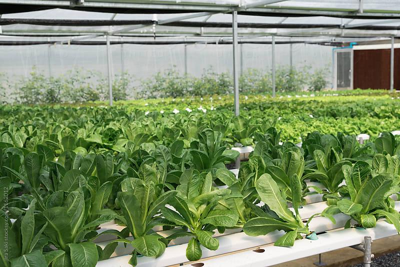 green house vegetable farm