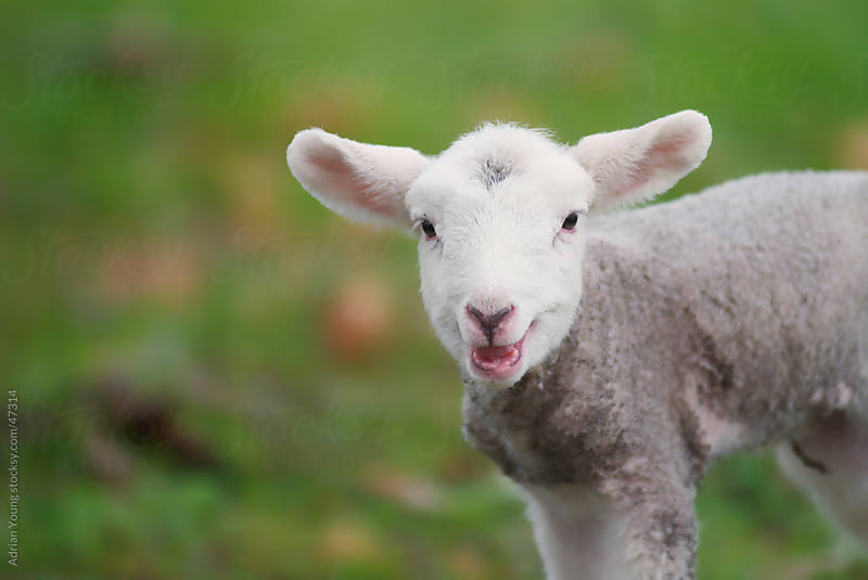 Cute Lamb Bleating by Adrian Young for Stocksy United