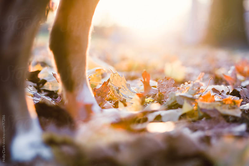The legs of a dog in an autumn leaf pile. by Holly Clark for Stocksy United