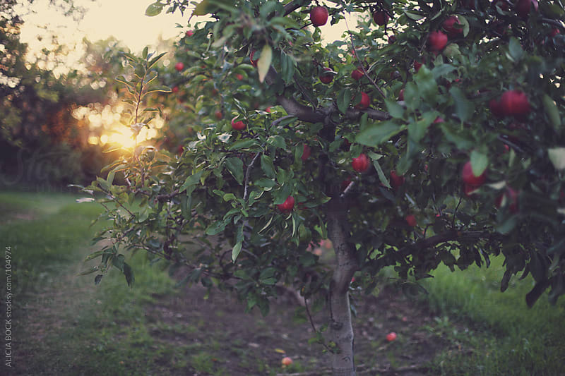 Red Apples In the Orchard #4 by ALICIA BOCK for Stocksy United