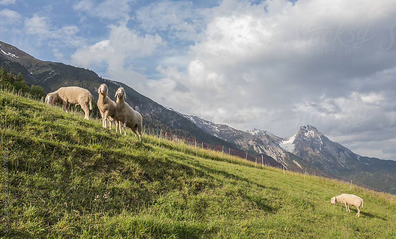 Grassing sheep in a mountain meadow in Austria by Soren Egeberg for Stocksy United