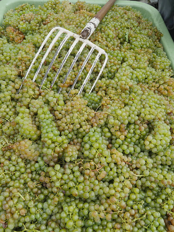 Bunches of green grape with pitchfork by rolfo for Stocksy United