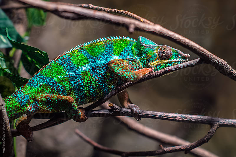colorful chameleon by Andreas Gradin for Stocksy United